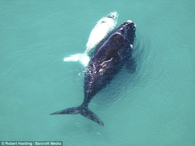 Cá voi bạch tạng theo mẹ tìm bạn tình