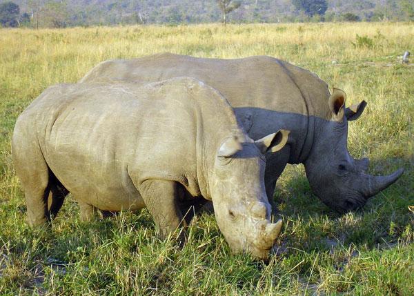Tê giác bị giết ngày càng nhiều