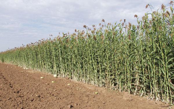 Ethanol từ lúa miến - đột phá nhiên liệu sinh học