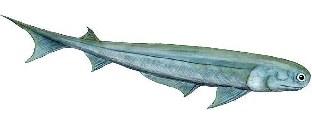 Phác họa cá Acanthodes bronni, tổ tiên của con người.