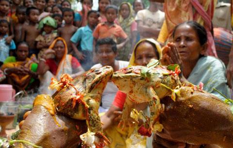 Ngôi làng ở Ấn Độ đang đối mặt với tính trạng hạn hán nghiêm trọng, nên dân làng đã thực hiện nghi lễ cầu mưa cổ xưa: tổ chức đám cưới cho ếch. Hình ảnh là nghi lễ vợ chồng ếch hôn nhau thay lời thề trong ngày cưới.
