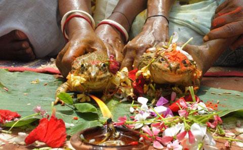 Đôi ếch sẽ được dân làng rải bột màu da cam lên đầu và hoa sặc sỡ với một ngọn nến ở phía trước để chụp ảnh cưới. Một số địa phương ở Ấn Độ, ếch được coi là loài có sức mạnh đặc biệt vì nó có thể cảm nhận được trời mưa sắp đến.