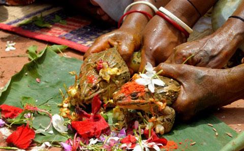 Không chỉ tổ chức lễ cưới cho ếch, người dân ở Ấn Độ còn tổ chức lễ cưới cho lừa, trâu để cầu mưa.
