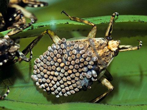 Bọ nước khổng lồ đực cũng là những ông bố mẫn cán. Sau khi giao phối, con cái đẻ trứng lên lưng con đực rồi tiết ra một chất khiến trứng bám chặt vào lưng. Con đực cõng trứng suốt ba tuần. Trong khoảng thời gian đó, nó phải tránh mọi kẻ thù để bảo đảm sự an toàn cho con của nó. Thỉnh thoảng nó ngoi lên mặt nước để đón ánh sáng mặt trời, một biện pháp khiến rêu không thể sinh trưởng trên trứng.