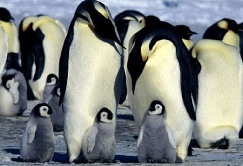 Chim cánh cụt hoàng đế trống luôn phải chịu đựng nhiệt độ âm trong quá trình ấp trứng. Sau khi chim mái đẻ quả trứng duy nhất vào ổ, chim đực sẽ dùng cơ thể của chúng để giữ ấm cho quả trứng. Trong 4 tháng chim trống hầu như không rời khỏi trứng, trong khi chim mái kiếm mồi dưới biển.