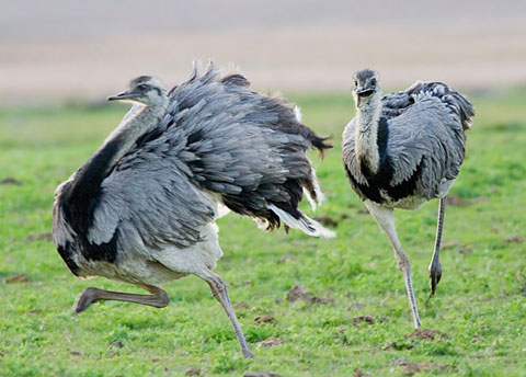 Vào mùa sinh sản, những con cái trong loài đà điểu lớn - một loài động vật ở Nam Mỹ - giao phối với nhiều con đực. Sau đó chúng chọn ổ của một con đực để đẻ khoảng 50 trứng vào đó. Con đực làm chiếc tổ sẽ ấp trứng trong 6 tuần và chăm sóc những con non. Nó sẽ tấn công mọi con vật tới gần con non, kể cả đà điểu cái.