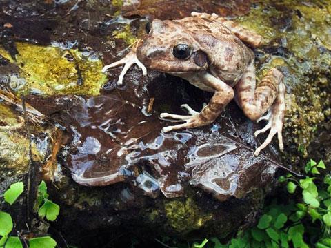 Một con ếch sủa đực ngồi gần đám trứng của nó gần một suối tại bang Texas, Mỹ. Sau khi ếch cái đẻ trứng dưới những tảng đá hoặc khúc gỗ, ếch đực chăm sóc trứng rất chu đáo. Chúng nằm cạnh ổ trứng cả ngày để thường xuyên tưới nước giải vào trứng mỗi khi trứng khô. Khi trứng nở thành nòng nọc, ếch đực thường xuyên bơi cạnh con. Nếu gặp trường hợp nguy hiểm, ếch bố há miệng để nòng nọc bơi vào. Sau đó ếch bố ngậm miệng lại để che chở cho con.