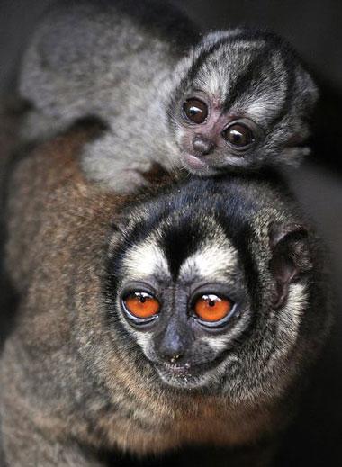 Trong thế giới của khỉ cú, một loài động vật linh trưởng phân bố tại Nam Mỹ, con đực đảm nhiệm phần lớn trách nhiệm nuôi con. Những con đực và con cái kết thành đôi trong phần lớn cuộc đời chúng.