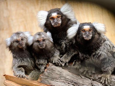 Khỉ đuôi sóc đực không chỉ bế con mà còn cho ăn và bắt rận cho chúng. Ngoài ra, khi những con cái sinh nở, khỉ đuôi sóc đực còn làm vệ sinh cho con bằng cách liếm sạch cơ thể chúng. Sự tận tụy của khỉ đực bắt nguồn từ việc khỉ cái phải hy sinh rất nhiều trong quá trình mang thai và sinh con. Bào thai của khỉ sóc thường chiếm tới 25% khối lượng của con mẹ.