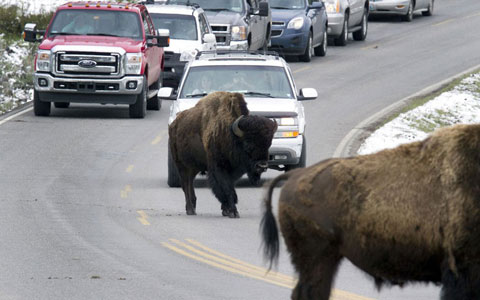 Sự xuất hiện của những con bò rừng trên một đường thuộc công viên quốc gia   Yellowstone, bang Wyoming, Mỹ đã gây nên tình trạng tắc nghẽn giao thông.