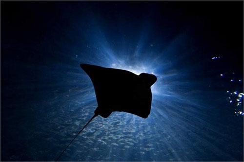 Cá đuối gai độc