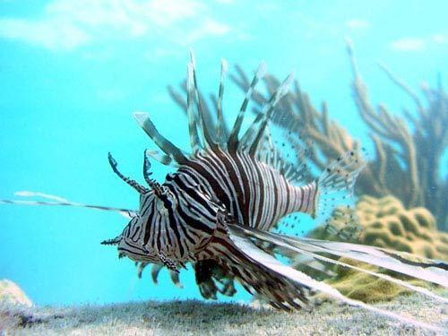 Cá nhím biển