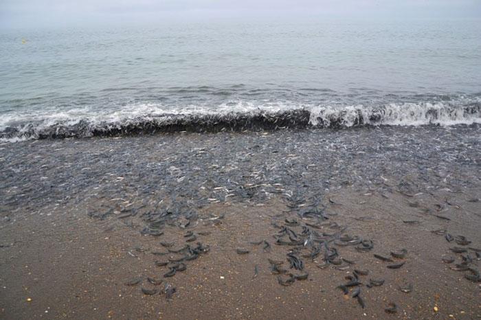 Kỳ lạ hiện tượng cá Trứng dạt bờ ở Kamchatka