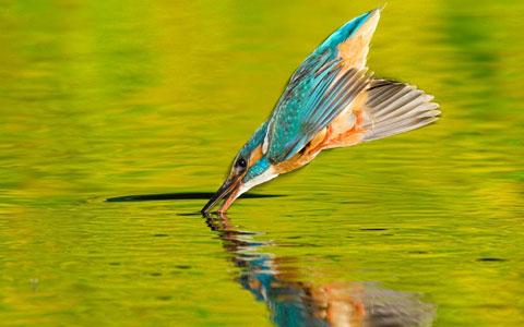 Chim bói cá lao xuống nước như mũi tên để bắt cá tại vùng châu thổ sông Sanube thuộc Romania.