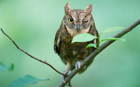 Con chim cú dường như nháy một mắt với những người quan sát chim tại núi U-am-san, thành phố Cheongju, Hàn Quốc.