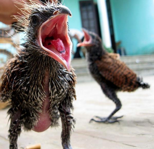 Bắt được đôi chim lạ mỗi ngày ăn hết 1kg thịt lợn