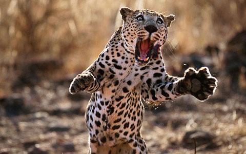 Cú nhảy của một con báo tại Namibia.