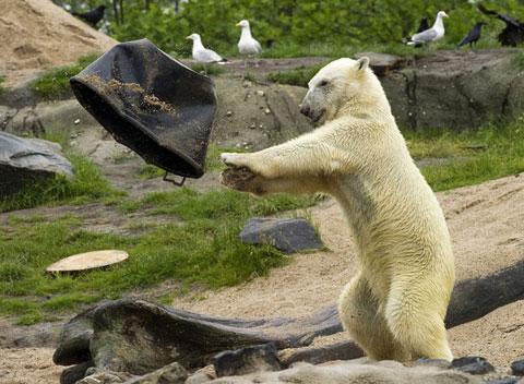 Vick, tên của một con gấu trắng, ném xô xuống ao trong vườn thú Blijdorp, thành phố Rotterdam, Hà Lan.