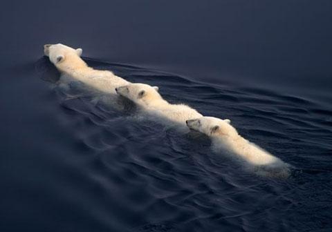 Ba con gấu trắng bơi thành hàng trong vùng biển ở phía bắc Na Uy. Vùng biển này thuộc Bắc Băng Dương.