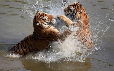 Hai con hổ Siberia chơi đùa dưới hồ nước trong vườn thú Hoàng Sơn, thành phố Hoàng Sơn, tỉnh An Huy, Trung Quốc.