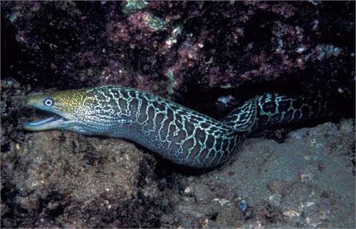 Lươn Moray
