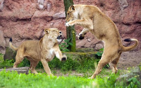 Hai con sư tử đánh nhau trong vườn thú thành phố Hanover, Đức.