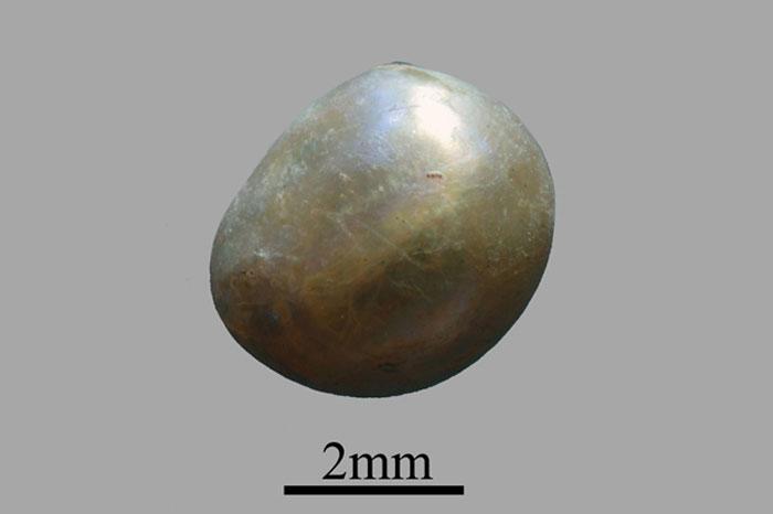 Viên ngọc trai tự nhiên lâu đời nhất thế giới có niên đại cách đây khoảng 7.500 năm.