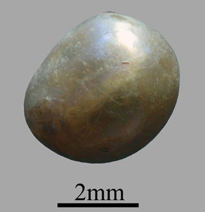 Tìm thấy viên ngọc trai hơn 7.000 năm tuổi
