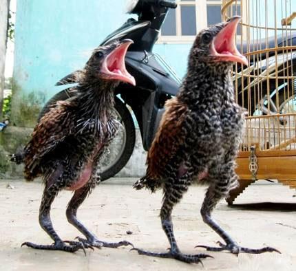 Hai con chim lạ ở Hòa Bình