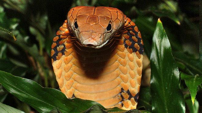 Rắn hổ mang đang đối mặt nguy cơ tuyệt chủng