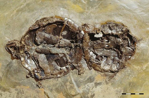 Phát hiện hóa thạch rùa đang giao phối