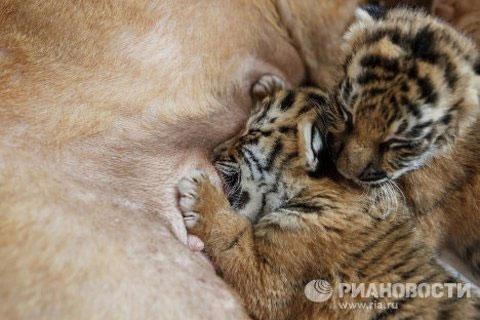 Xưa nay, do di truyền chó rất sợ hổ. Chưa thấy hổ bao giờ mà chỉ nhận thấy mùi hổ, chúng đã sợ rúm, không lết nổi. Thế nhưng Cleopatre lại thản nhiên đón nhận hai chú hổ lạ mặt vào gia đình, tự nguyện nuôi nấng cùng với lũ con của mình.