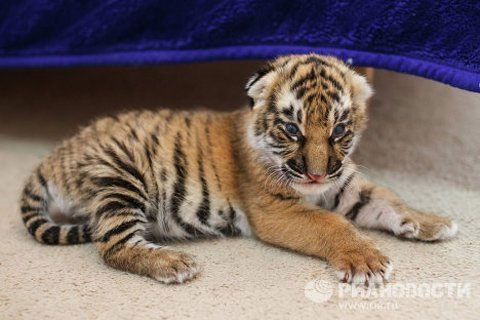Hổ bố, hổ mẹ Bagira và Batyr cùng quê hương tại Siberia là các bậc cha mẹ vụng về, gặp nhau khi bị nhốt trong chuồng. Không thể đưa những đứa con vào ở chung đã đành mà cũng không làm thế nào xin chút sữa của hổ mẹ.