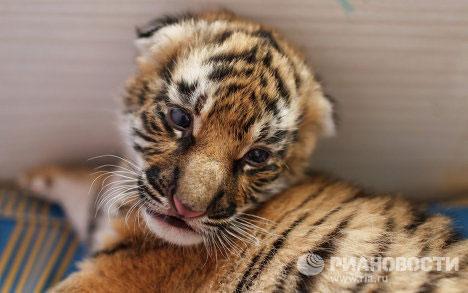 Khi hai con hổ to lớn hơn cả bà mẹ nuôi Cleopatre, người ta phải gửi chúng trở lại sở thú.
