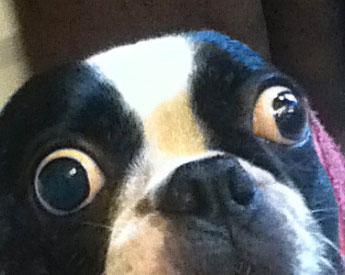 Chó được vào sách Guinness vì mắt quá to