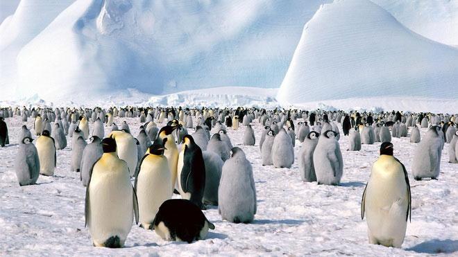 Chim cánh cụt hoàng đế sẽ biến mất trong thế kỷ này