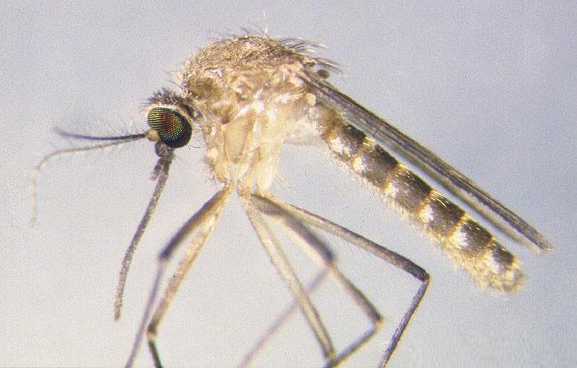 Muỗi culex molestus