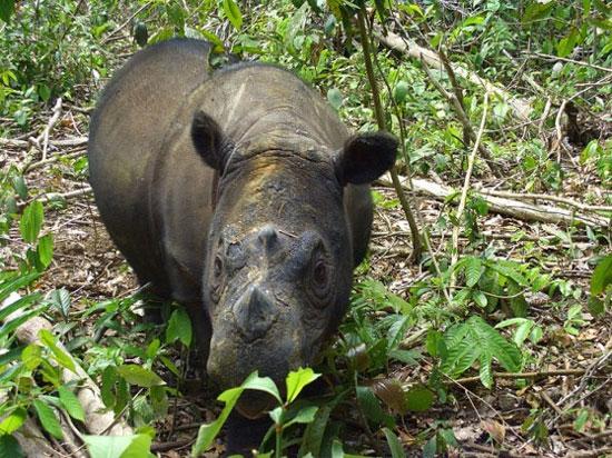 Tê giác hiếm sắp sinh con tại Indonesia