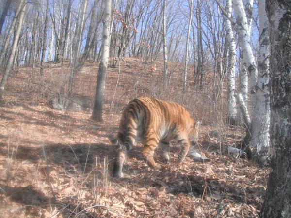 Hổ Amur xuất hiện trở lại ở Trung Quốc
