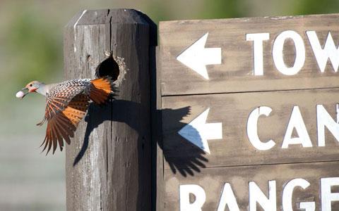 Một con chim gõ kiến đốm Bắc Mỹ mang trứng của nó ra khỏi tổ tại công viên Yellowstone tại Mỹ sau khi một cặp sáo chiếm tổ.
