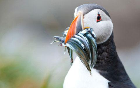 Chim hải âu rụt cổ ngậm nhiều con cá trong mỏ trên quần đảo Farne của Anh.