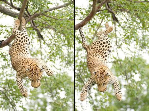 Báo đực nhảy từ cành cây để thoát khỏi sự truy đuổi của một con báo cái trong khu bảo tồn Tshukudu, Nam Phi.