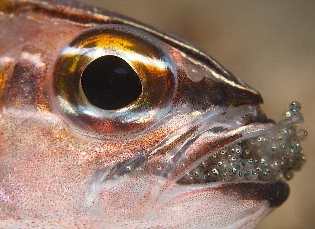 Kỳ lạ loài cá nhịn ăn để ấp trứng trong miệng