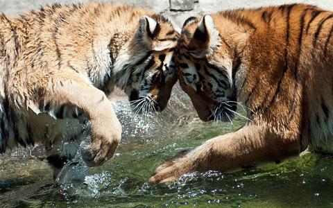 Hai con hổ Siberia chơi trong vườn thú thành phố Magdeburg, Đức.