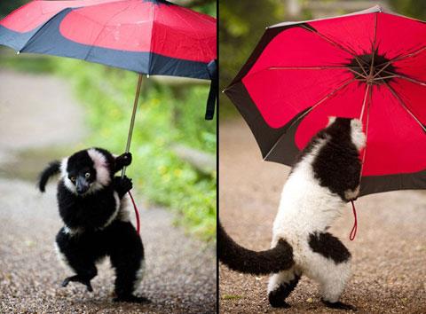 Vượn cáo cầm ô của một khách tham quan trong vườn thú thành phố Dudley, Anh.