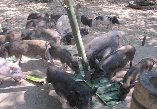 Phú Thọ: Lai tạo thành công giống lợn rừng lai F1