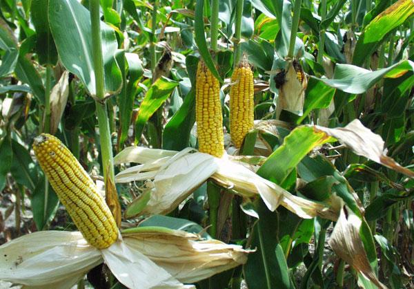 Những loài sâu đục rễ kháng ngô biến đổi gene đang đe dọa làm giảm năng suất thu hoạch của nông dân.
