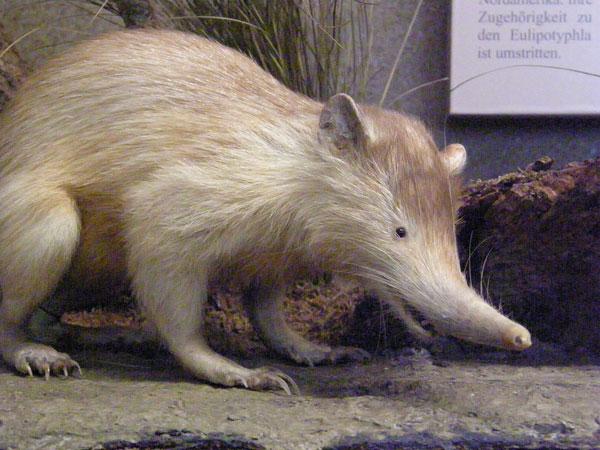 Loài thú có tên khoa học là Almiqui này từng bị nghi ngờ đã tuyệt chủng. Almiqui lần đầu tiên mô tả năm 1861. Từ đó đến nay mới chỉ 37 con được phát hiện. Almiqui có màu lông sẫm, có miệng giống heo, khuôn mặt kỳ lạ. Mõm và đôi chân dài vượt trội khiến cả cơ thể trông rất nhanh nhẹn.