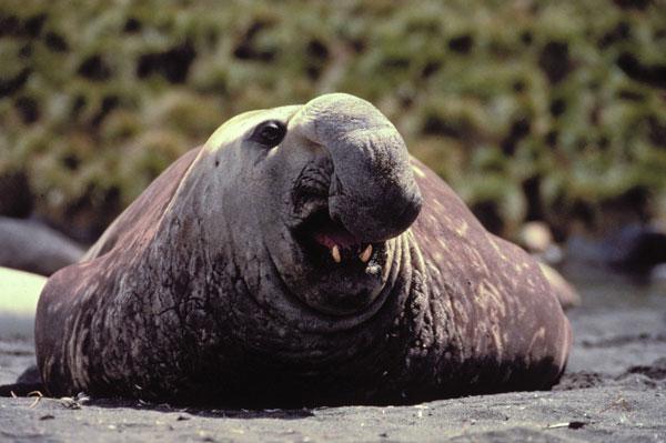Voi biển hay còn gọi là Hải tượng phía nam (Mirounga leonina) là một loài động vật sống dưới biển thuộc bộ Thú ăn thịt (Carnivora) họ Hải cẩu (Phocidae). Kích thước của con đực có thể gấp 5-6 lần con cái. Chúng sống ở Nam Phi, Argentina, New Zealand. Đây là loài có khả năng bắt mồi rất nhạy bén, thức ăn chủ yếu của nó là mực, bạch tuộc.