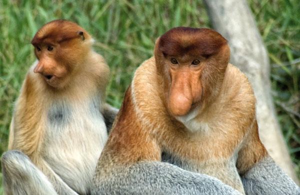 Khỉ vòi hay khỉ mũi dài (Nasalis larvatus). Đây là loài đặc hữu ở các hòn đảo Đông Nam Á ở Borneo. Chiếc mũi to đùng với chiều dài lên tới 18cm chính là công cụ để khỉ vòi tán tỉnh những con cái. Cũng nhờ chiếc mũi này mà khỉ vòi có thể phát ra những âm thanh vang xa hàng trăm dặm.